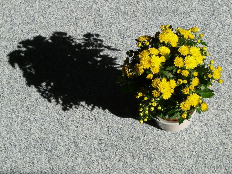 the shadow of chrysanthemums in a pot