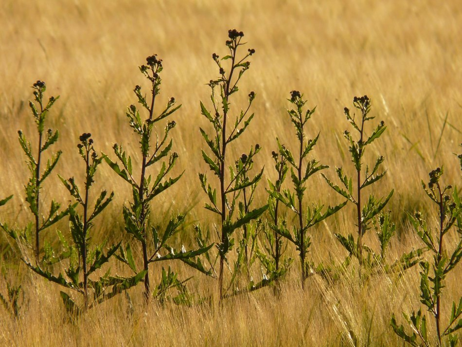 creeping thistle amongst field