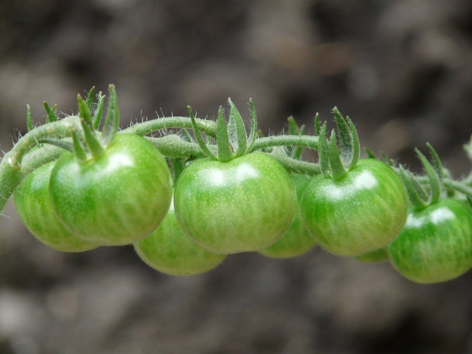 green tomatoes on a branch