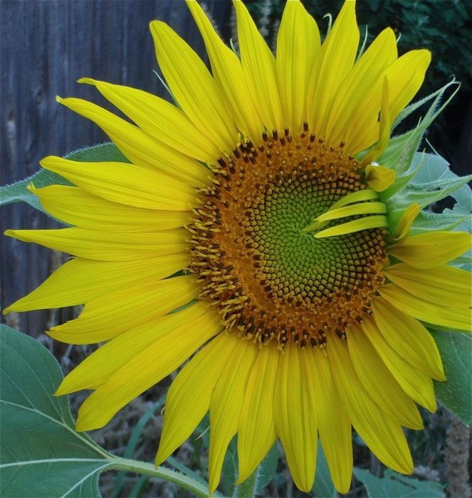 sunflower with bent petals