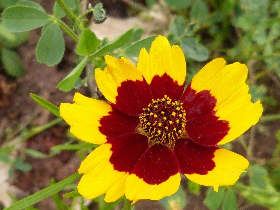 Beautiful yellow and red blossoming flower