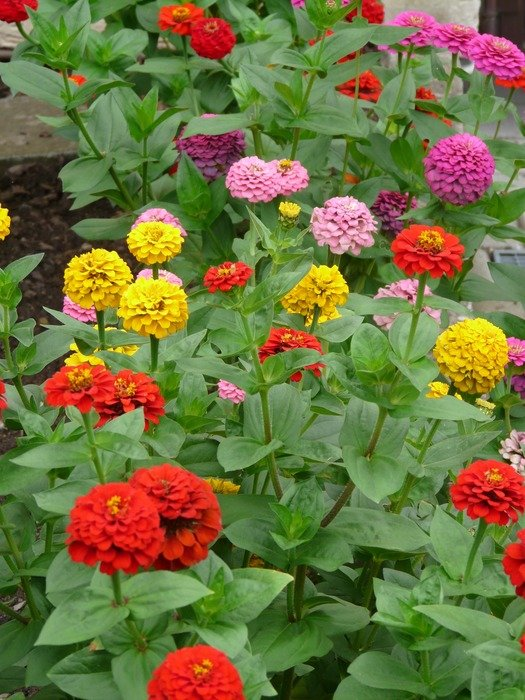 multicolored flowers Zinnias on the bushes