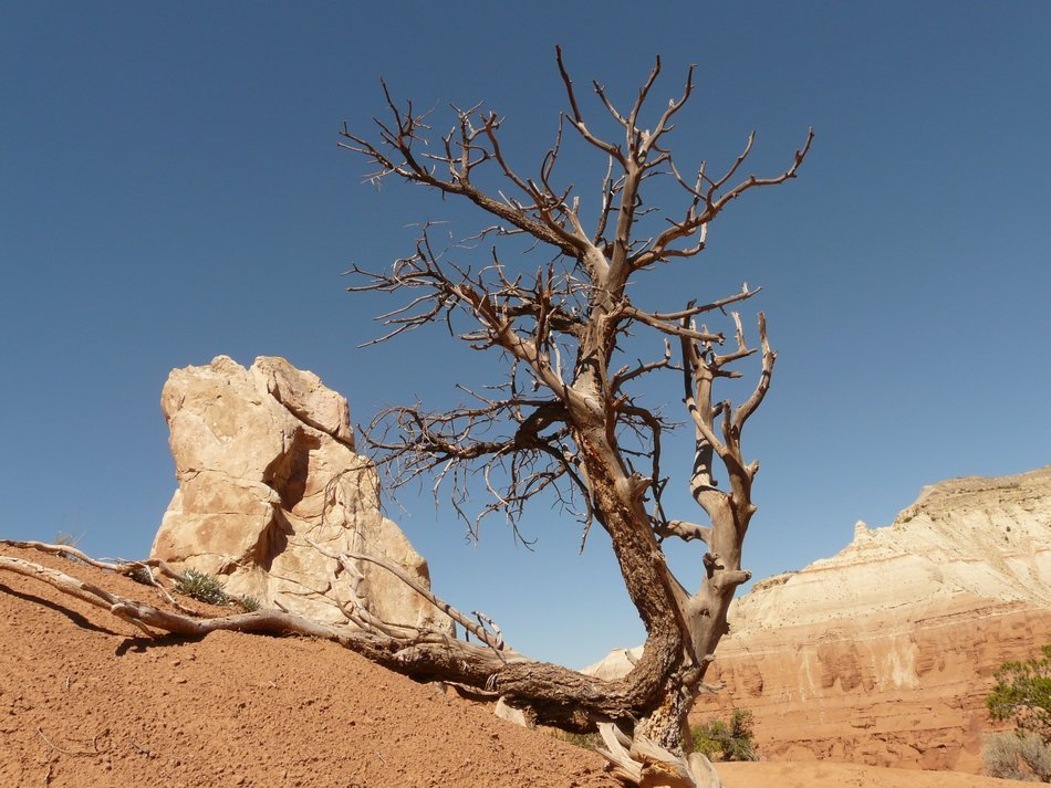 dry old tree in the desert