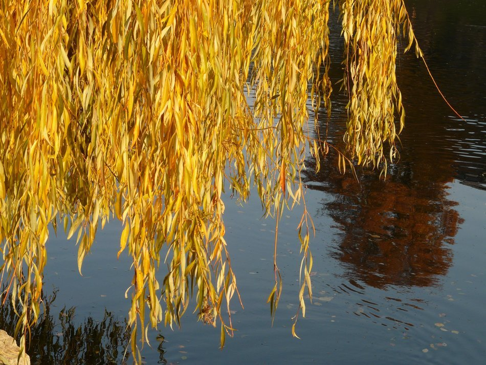 yellow willow leaves over water