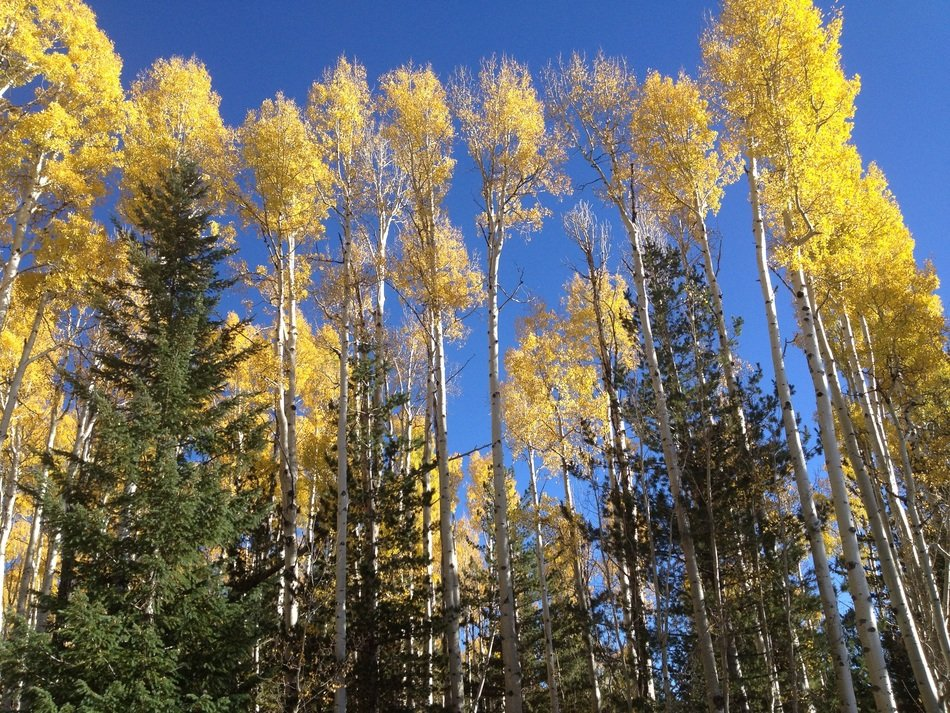bottom view on the yellow aspen trees