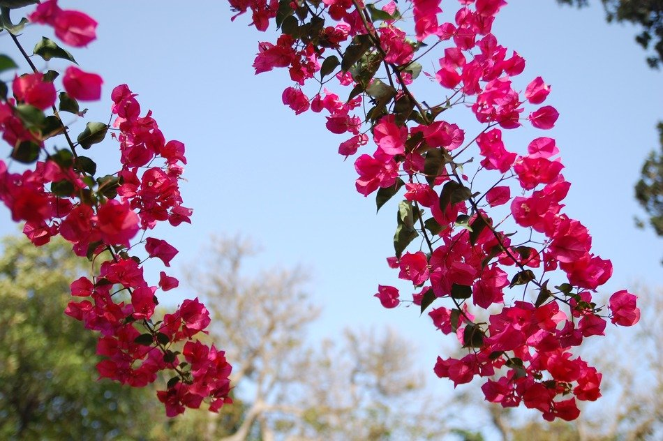 bright pink flowers on the branches in the summer