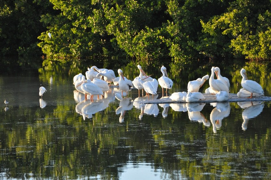 Pelicans on Sanibel Island
