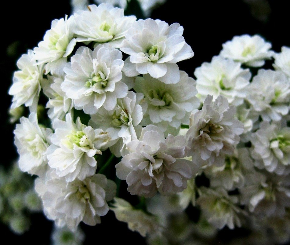 white flowers on a dark background