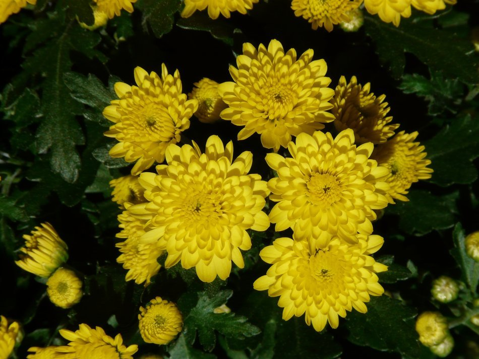 yellow flowering Chrysanthemums