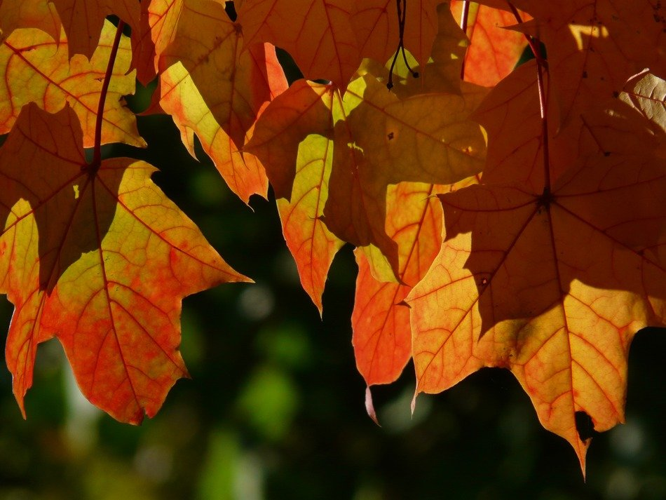 autumn leaves of maple