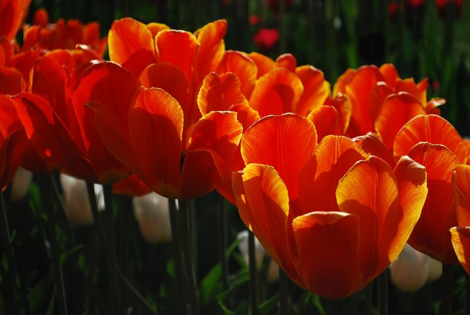 red tulips with a yellow rim in the garden