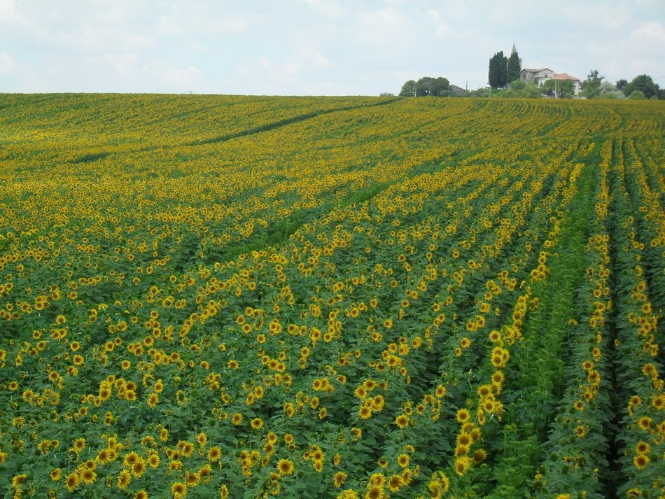 landscape of the sunflower field