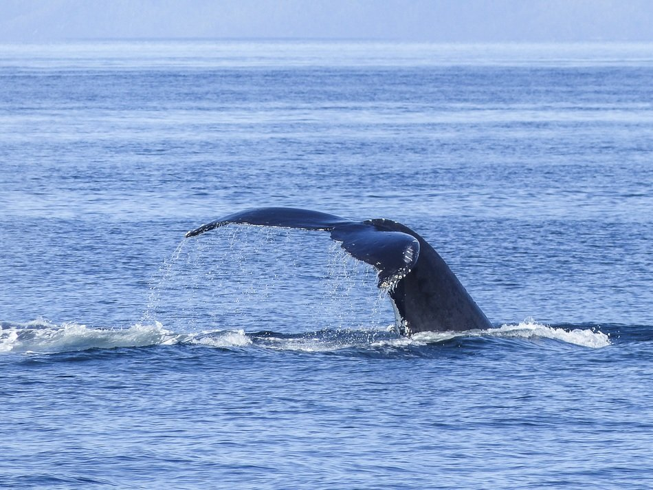caudal fin humpback whale over water