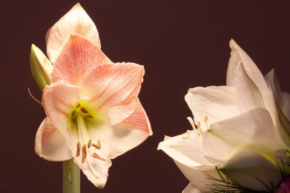 beautiful white flowers amaryllis