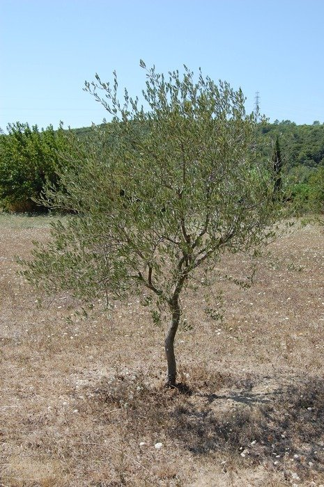 lonely olive tree