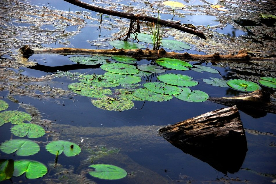 green water lilies in a pond in a forest