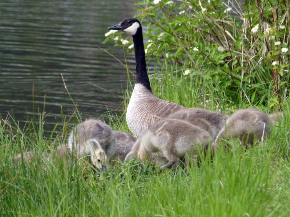 Canada Goose with chicks on the grass near the pond