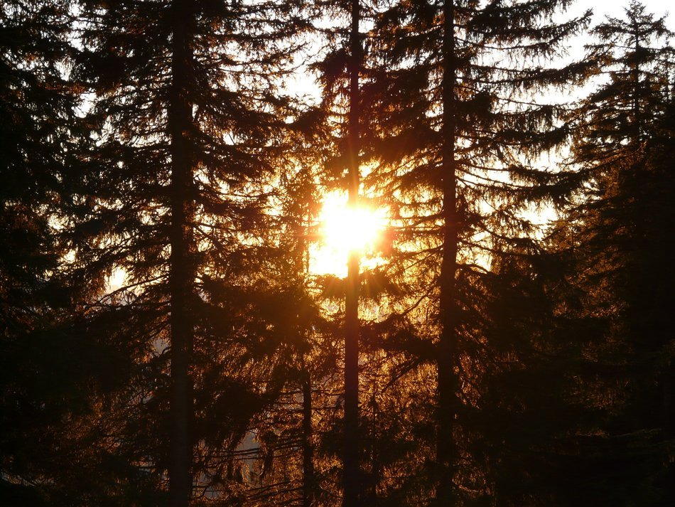 view of the sun shining through the fir forest