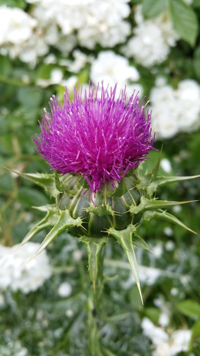 Macro photo of thistle plant