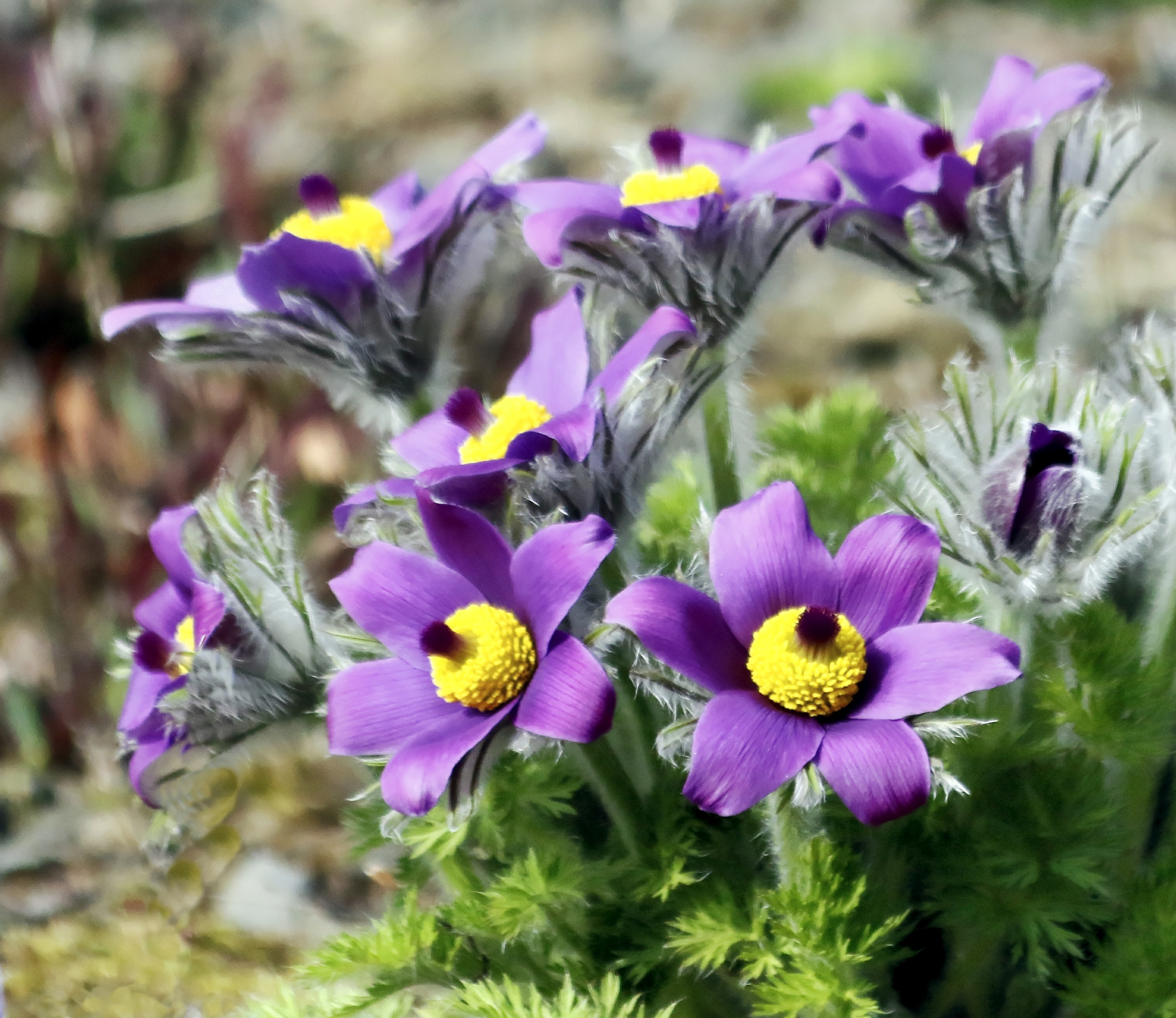 Purple Flowers With Yellow Stamens Free Image