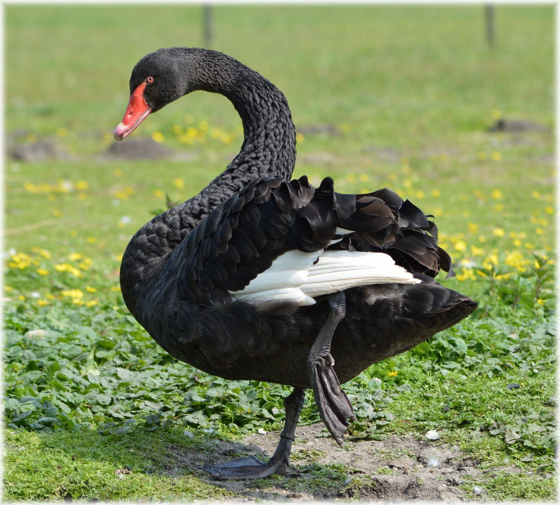Праздник, черный лебедь картинки животное