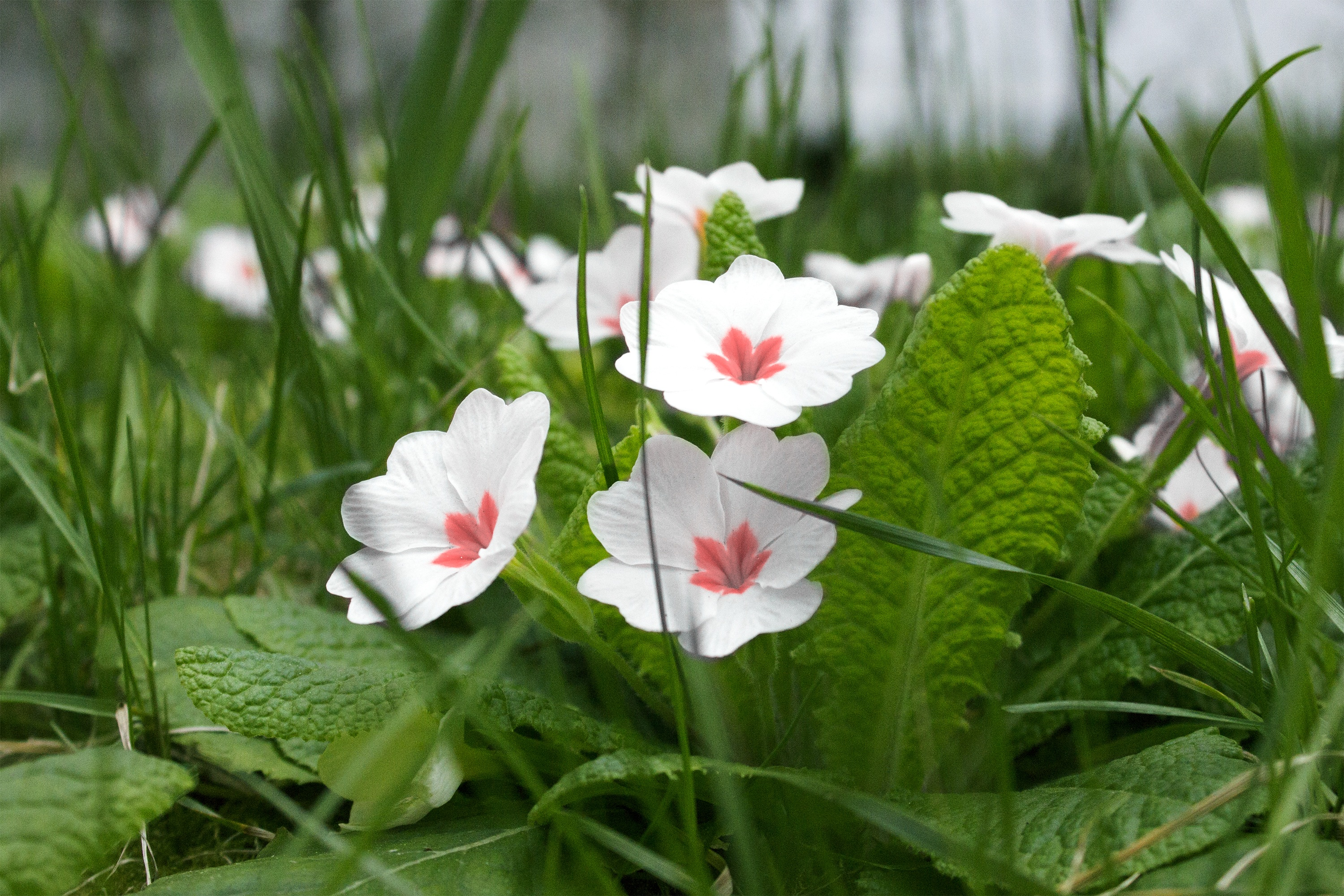Cute White Flowers In Green Grass Free Image