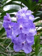 blue Vanda is a type orchid