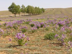 irises on a field in mongolia