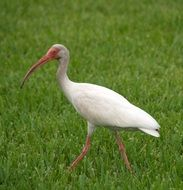 tropical white ibis on a green lawn