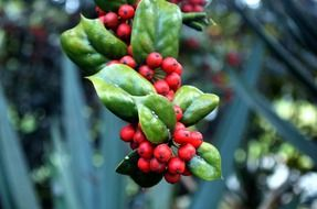 red holly berries on a branch