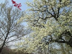 white flowering cherry tree in the park