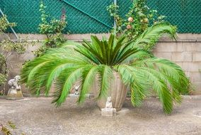 potted young palm tree