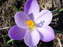 light purple crocus in the garden