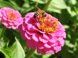 honeybee zinnia insect