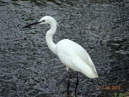 white heron on the water