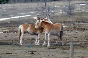 islaender horses animals