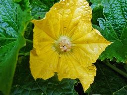 squash, blooming plant