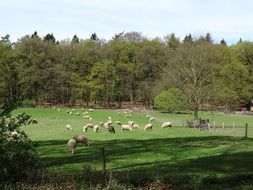 Picture of the white sheep on a meadow