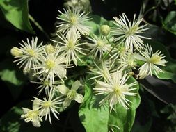 clematis vitalba flowers in forest