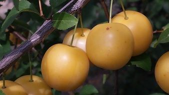 yellow plums fruits