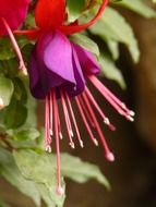 bright fuchsia close up