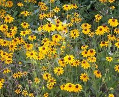 yellow flowers of echinacea in a field