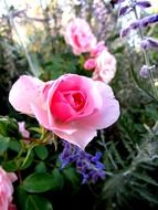 picture of the pink rose flower in summertime