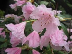 pale pink rhododendron flowers