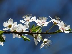 blooming of the wild plum on the blue background