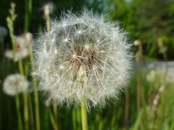 white fluffy dandelion on a summer meadow