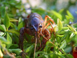 crawfish in green vegetation