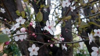 spring flowering cherry tree