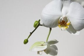 White orchid flowers on a white background