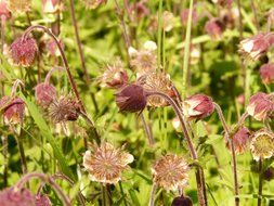 bloom of avens closeup